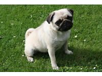Stunning KC Reg Fawn Adult Female Pug