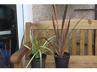 Phormium Plants