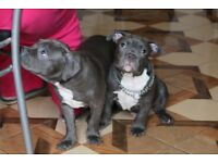 American Bully Puppies pocket