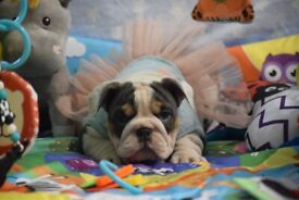 Beautiful and Pure Breed English Bulldog Puppies looking for new homes