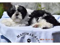 Shih Tzu Puppy pure breed
