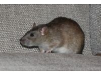 2 Female Rats, nearly 11 months old