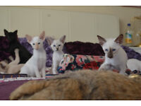 Affectionte, loving Apricot Point and Blue Point Siamese Male Kittens Ready now in Paignton, Devon