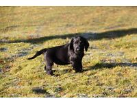 Gorgeous Black Cocker Spaniel Puppy for Sale - KC registered