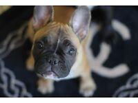 Pedigree French Bulldog Puppies (Not Kc Registered)