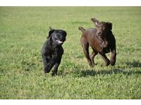 Top Quality Labrador puppies for sale