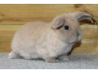 Gorgeous Baby Mini Lop