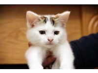 Very sweet boy kitten for sale 8 weeks
