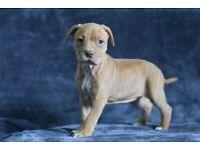 Stafforshire bull terrier puppies