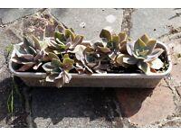 Succulent Plants in Trough