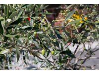 Olive Tree and Oleander bush