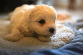 Maltichichon Puppies. Maltese x bichon x chihuahua. small bundles of fun!.