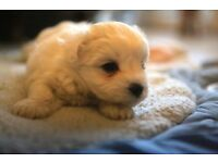 Maltichichon Puppies. Maltese x bichon x chihuahua. small bundles of fun!.