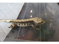 pinstripe black and yellow crested gecko male