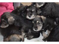 Schnauzer pups Ready to go on (13-11-17)