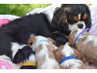 Outstanding 5 Generation Pedigree King Charles Cavalier Puppies DNA Clear
