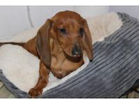 Miniature Dachshund puppy Female