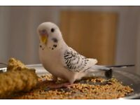 2 beautiful healthy budgies, one white/grey TCB and spangle torquise