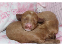 Beautiful F1 Cavapoo Puppies for sale