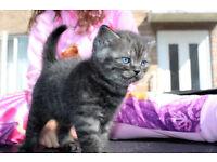 Georgeous British Shorthair Kitten