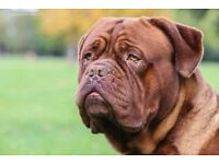 Quality Dogue de bordeaux pups male / female