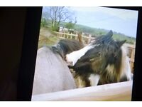 Lovely black and white cob mare four years old
