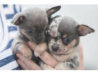 Blue Merle Chihuahua & Blue and Tan Chihuahua for sale
