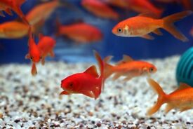 Gold Fishes Available