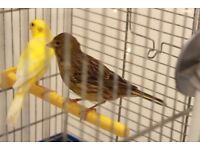 green female male yellow canary roller raza