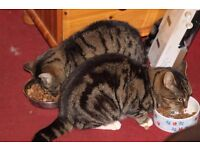 Beautiful friendly tabby cats