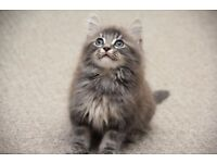 Extremely Fluffy Blue Silver kitten