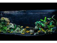 Malawi Mbuna cichlid cheap aquarium