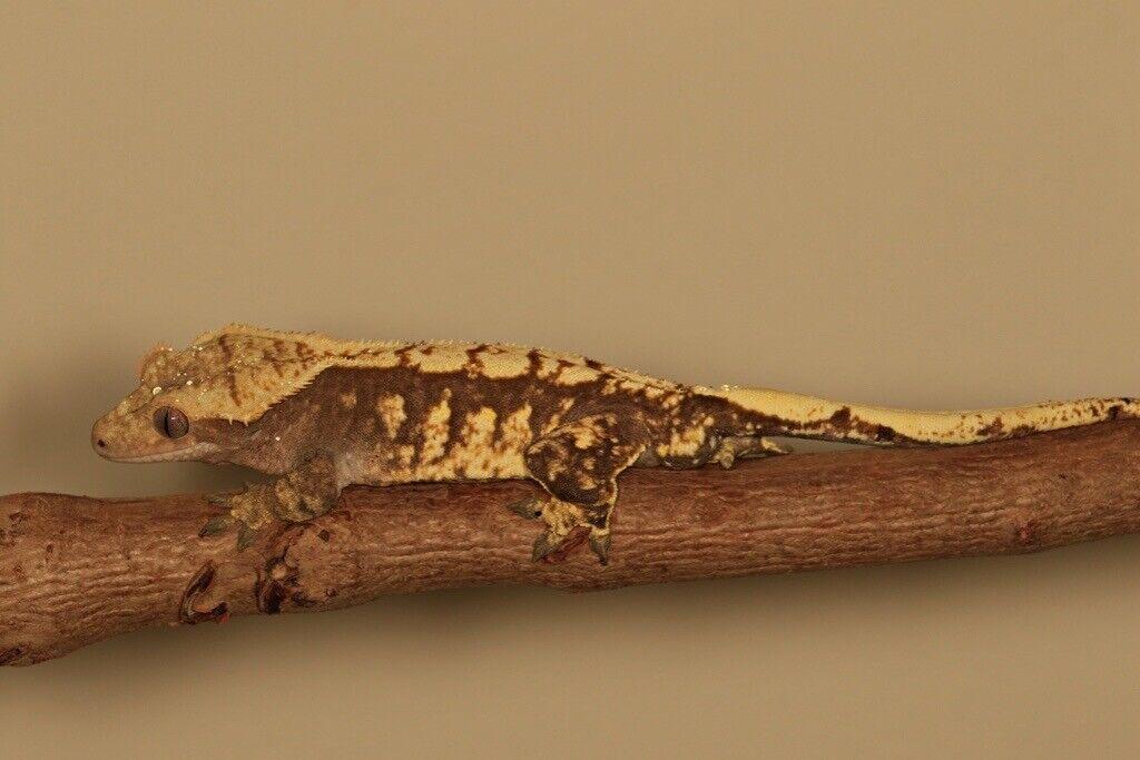 Stunning Crested Geckos for sale   in Ruislip, London   Gumtree