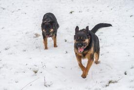 "German Shepherd cross Rottweiler ""Pups"""
