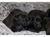 Labrador Retriever Puppies KC Registered