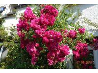 rambling rose, excelsa, in flower now