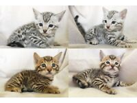 Stunning PURE, FULL SPOTTED SILVER/GOLDEN BENGAL Kittens - £700 each