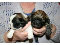 shih tzu puppys for sale ready for there forever homes on29th march 4 girls 2 boys