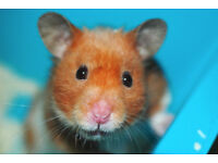 Cute Hamster for sale