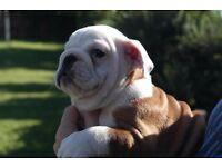 Kc English Bulldog Puppies Available