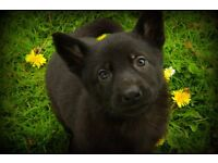 Kennel Club Registered German Shepherd Puppies