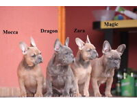 Blue / Fawn French Bulldog puppies for sale