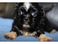 Full Shih Tzu pup black
