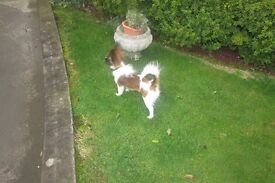 Papillon pup 6 months old GOING CHEAP GENUINE REASON
