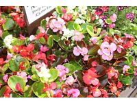 Trays of Bedding Begonias ( 24in a tray )