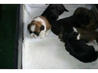 KENNEL CLUB REGISTERED FULL PEDIGREE SHIHTZU PUPPIES