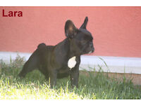 French Bulldog puppy / puppies for sale