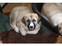 Anatolian Shepherd Puppies KC Reg