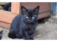 Adorable little fluffy female 8 week black kitten
