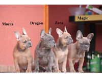 Blue Fawn Sable / Tan carrier French Bulldog for sale